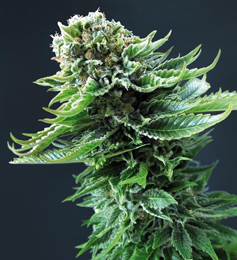 Northern Lights Automatic Seeds - Sensi Seeds - Weed World Magazine