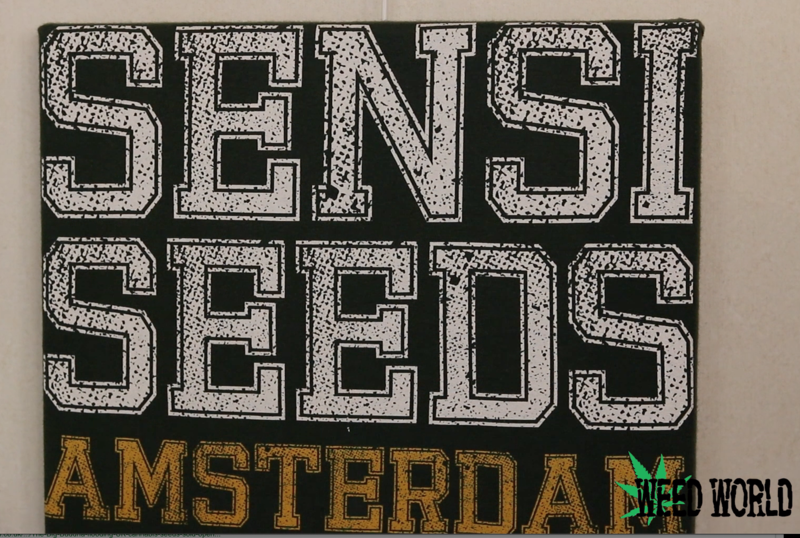 Exclusive interview with Sensi Seeds
